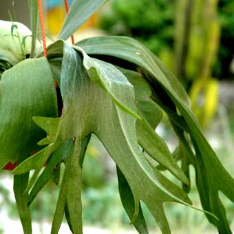 common name staghorn fern - Fern Types